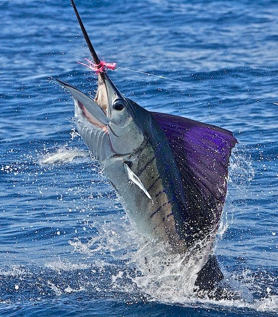 Costa Rica Billfish