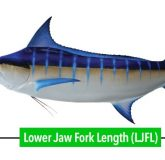 How to measure a billfish