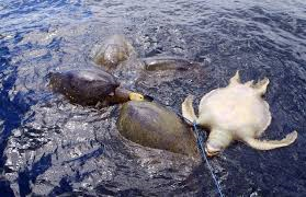 Sea turtle caught in Tuna Net