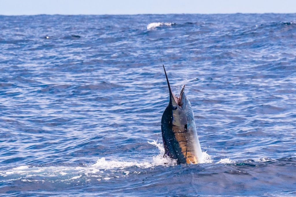 4c7b1a1626f Species Archives – FECOP -The Voice of Sport Fishing in Costa Rica