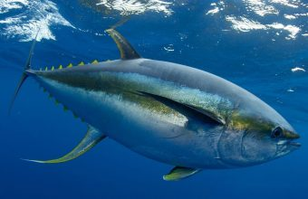 Yellowfin Tuna Costa Rica