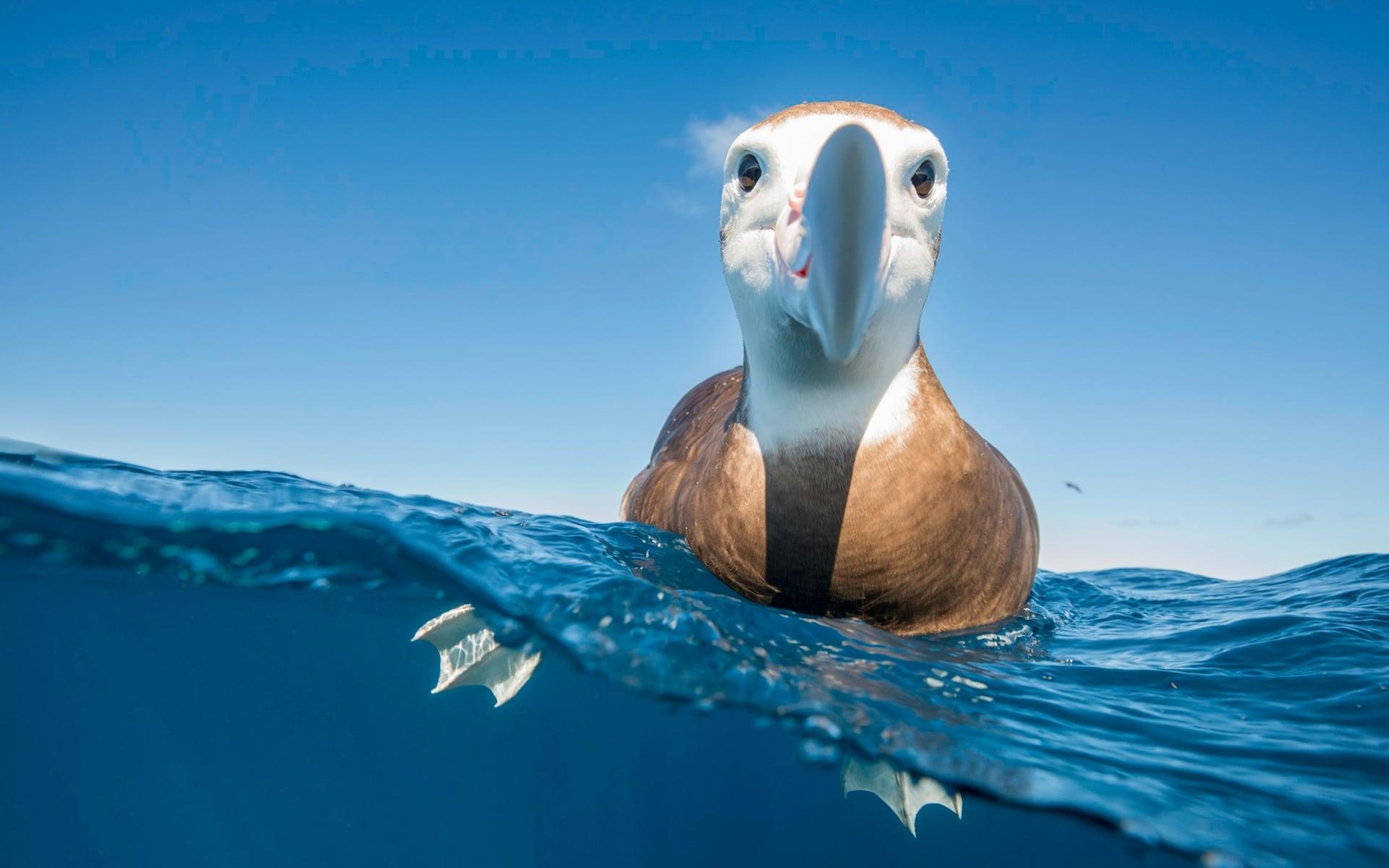 High Tech Albatross