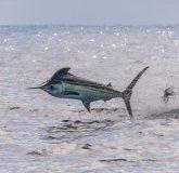 Costa Rica Marlin