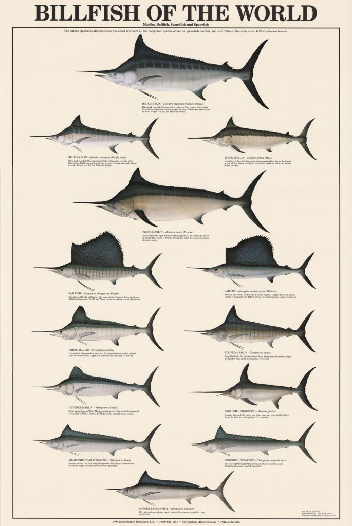 billfish graphic