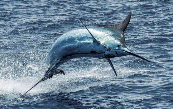 Cómo atrapar a Marlin