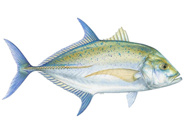 Bluefin Trevally Costa Ricxa